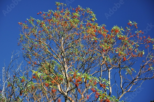 High tree Arbutus andrachne with green leaves and red fruit on a blue sky Wallpaper Mural