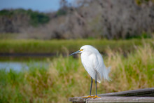 Snowy Egret Perched And Looking Out Over A Lake