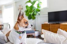 Terrier Mix Dog