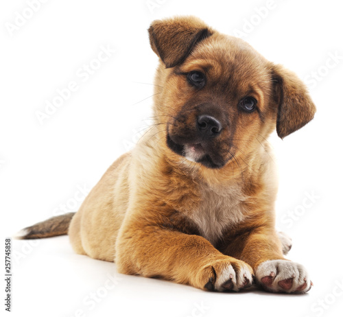 Brown beautiful puppy. Wall mural