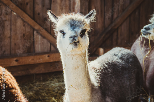 Cute alpaca in the barn eating