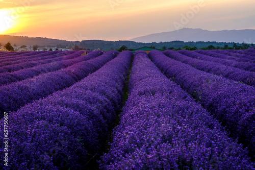Cadres-photo bureau Violet Champ de lavande en Provence, le Mont Ventoux en arrière-plan. Coucher de soleil.