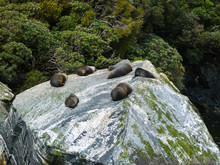 Herd Of Seals Sunbathing On A Rock At Milford Sound - New Zealand