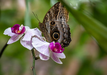 Large Brown Butterfly On Rose Orchid On Green Background, Close Up