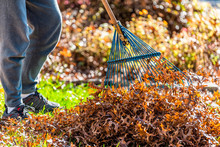 Person Homeowner In Garden Front Yard Backyard Raking Collecting Dry Autumn Foliage Oak Leaves Pile Standing With Rake In Fall Sunny Sunlight