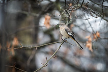Wet One Northern Mockingbird Bird Sitting Perched On Oak Tree Branch During Winter With Bokeh Background And Spring Rain On Rainy Day In Virginia And Water Drops