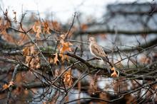Mourning Dove Wet Bird Sitting...