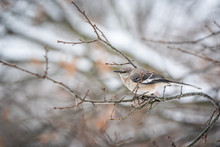 One Northern Mockingbird Bird Sitting Perched On Oak Tree Branch During Winter With Bokeh Background In Virginia