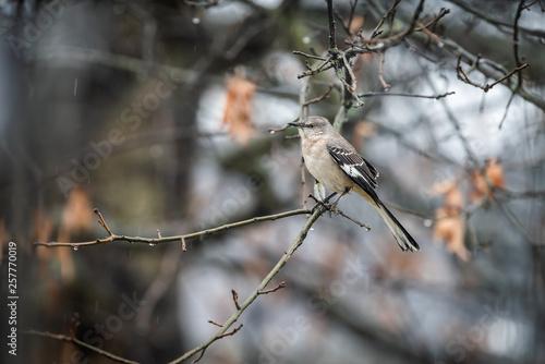 Fotografía Wet one northern mockingbird bird sitting perched on oak tree branch during wint