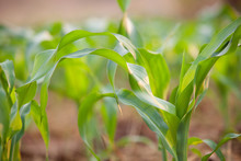 Green Corn Field. Plant Of Young Green Corn