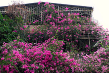 Amazing House With Pink Bougai...