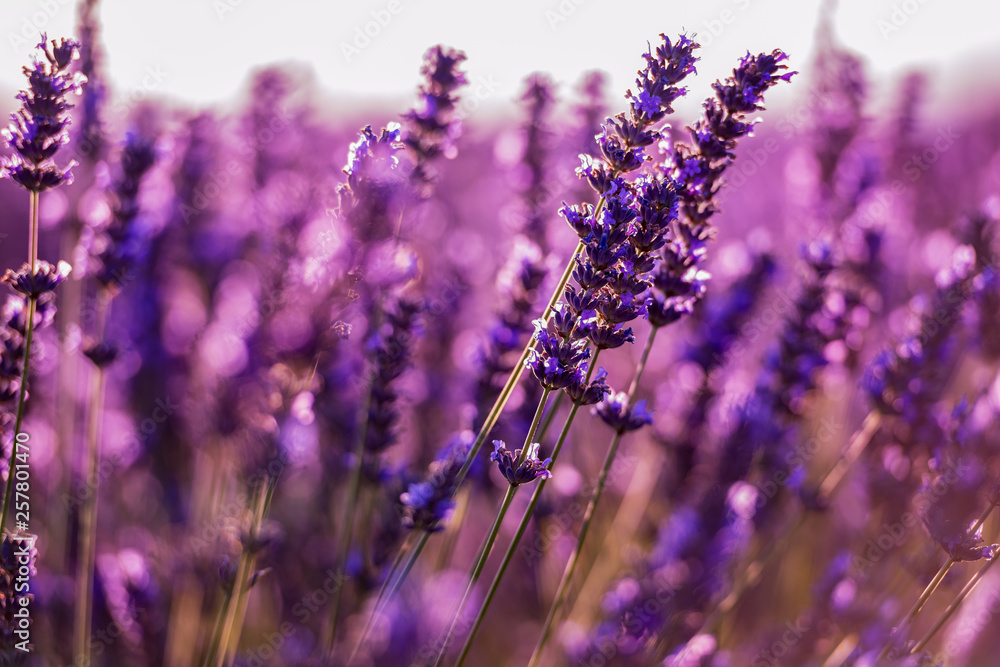 Fototapety, obrazy: Close up Bushes of lavender purple aromatic flowers