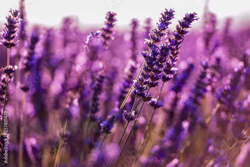 Photo sur Toile Lavande Close up Bushes of lavender purple aromatic flowers