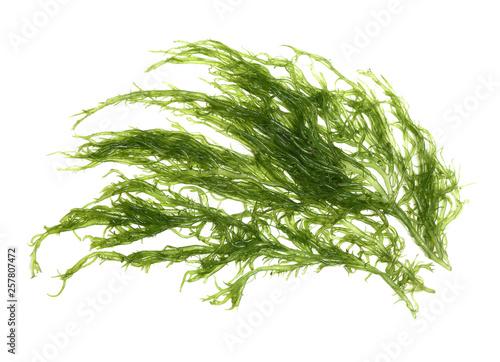 Laminaria (Kelp) Seaweed Isolated on White Background Canvas Print