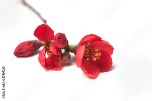 Photographie closeup of red japanese quince tree  of Chaenomeles on white background