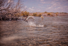 Hooked Tarpon Jumping Out Of The Water During The Fight. Cuba