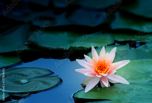 Canvas Print lotus flower in pond, close-up water lily and leaf, close-up flower in nature