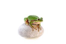Green Tree Frog Sitting On Grey Stone Isolated On White  European Tree Frog Hyla Arborea