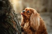 Cavalier King Charles Spaniel Dog Beautiful Sunrise Magic Light Portrait