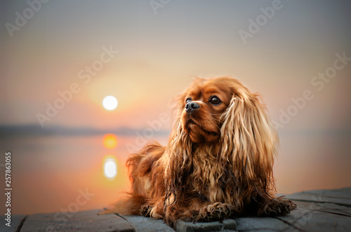 Photo cavalier king charles spaniel dog beautiful sunrise on the river portrait