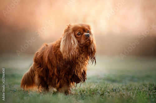 Billede på lærred cavalier king charles spaniel dog beautiful sunrise magic light portrait