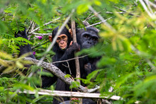 Portrait Of A Chimpanzee In Th...