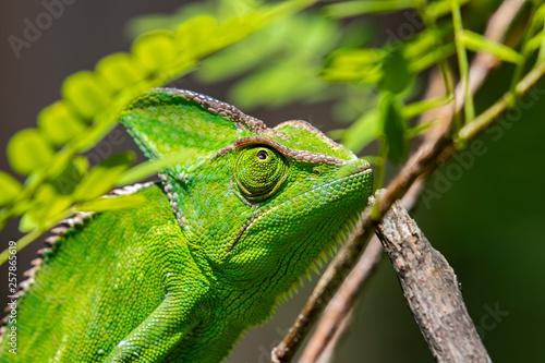 Cadres-photo bureau Cameleon Chameleon in close-up, South Africa