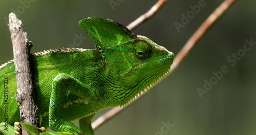 Staande foto Kameleon Chameleon in close-up, South Africa