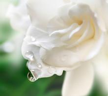 White Gardenia Blossom.