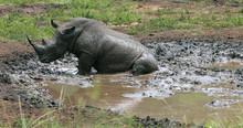 Rhinoceros In Kruger Park In S...