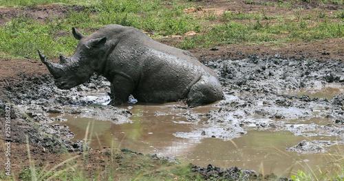 Spoed Foto op Canvas Neushoorn rhinoceros in kruger park in south africa
