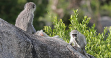 Vervet Monkey In Kruger Park During A Photo Safari In South Africa