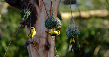 """Bird """"spotted Weaver"""" With Nes..."""