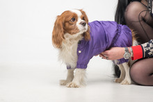 Unrecognizable Girl Puts Clothes On Dog Breed Cavalier King Charles Spaniel.