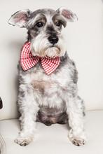 Tender Pet - Miniature Dog Schnauzer