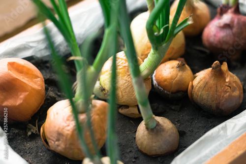 Fotografie, Obraz  Fresh chives grows in a pot. Onions ready to harvest and eat