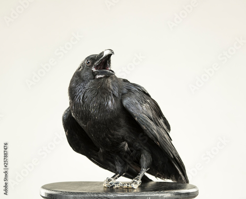 Photo beautiful black raven sits on a white background in the studio
