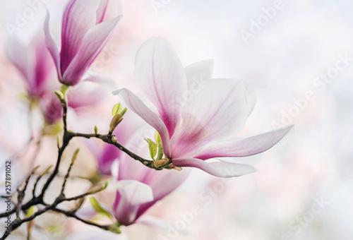 Obrazy Magnolie  magnolia-kwitnie-wiosna