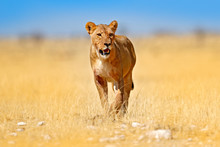 African Lion Walking In The Gr...