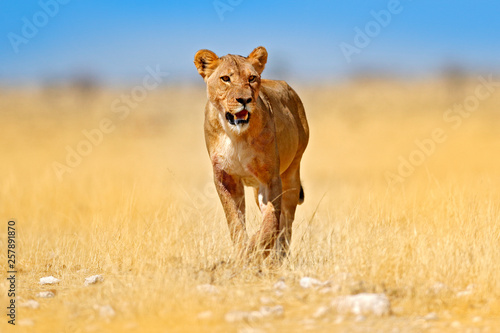 Photo African lion walking in the grass, with beautiful evening light