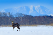 Hokkaido Sika Deer, Cervus Nippon Yesoensis, On The Snowy Meadow, Winter Mountains And Forest In The Background, Animal With Antlers In The Nature Habitat, Winter Scene From Hokkaido, Japan.
