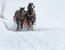 Winthrop, Washington State, USA - March 1, 2019: Winter Fan Sleigh Ride With Beautiful Percheron Horses