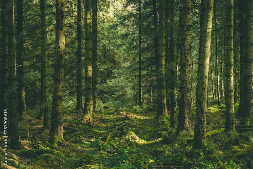 Fototapety, obrazy: Welsh Forest