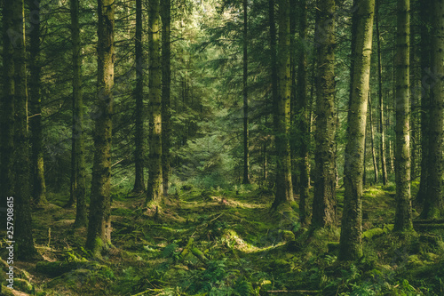 Fotografie, Obraz Welsh Forest