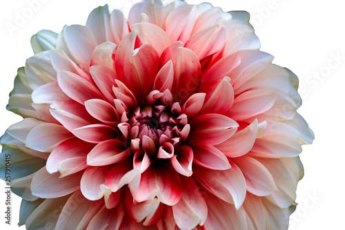 Poster de jardin Dahlia flower on white background