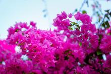 Close-up.Paper Flower (Bougainvillea). Dreaming Purple Confetti. Summer In Quy Hoa Village, Quy Nhon City, Binh Dinh Province, Vietnam. Central Region. Coastal Area.
