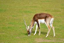 Male Indian Antelope (Antilope Cervicapra) Grazing