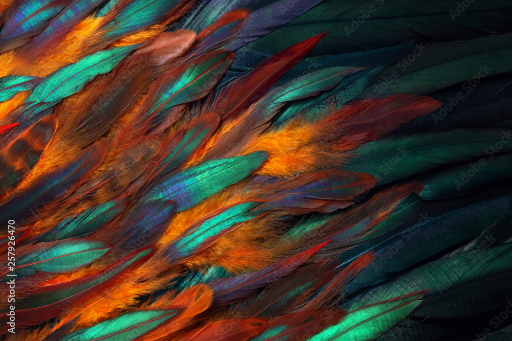 Colorful close up photo of chicken feathers. Shimmer colors of wing.