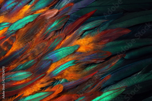 Fototapeta Colorful close up photo of chicken feathers. Shimmer colors of wing.  obraz