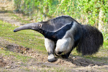 Closeup Of Giant Anteater (Myr...